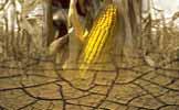 corn harvest fails event